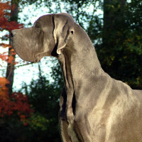 Victory Great Danes Breeding Dogs