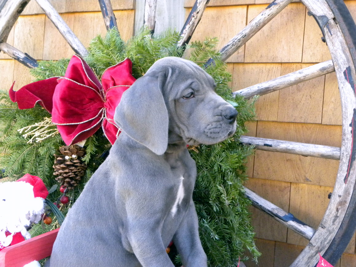 Victory Great Danes Puppies and Breeding Dogs